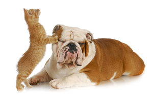 cat leaning up against bulldog